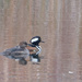 Hooded Mergansers ii