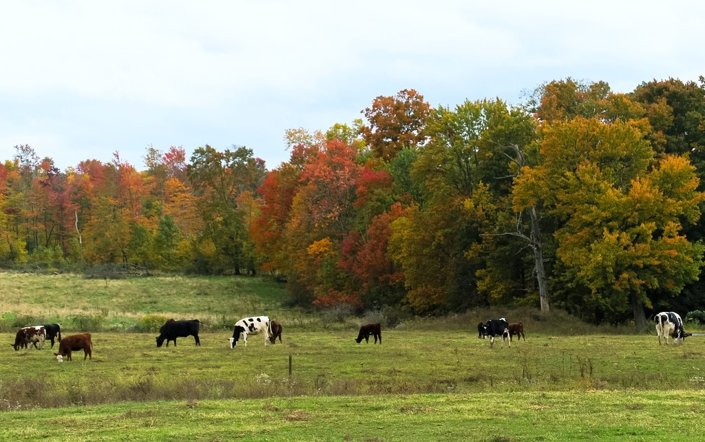 Cows in autumn by mittens