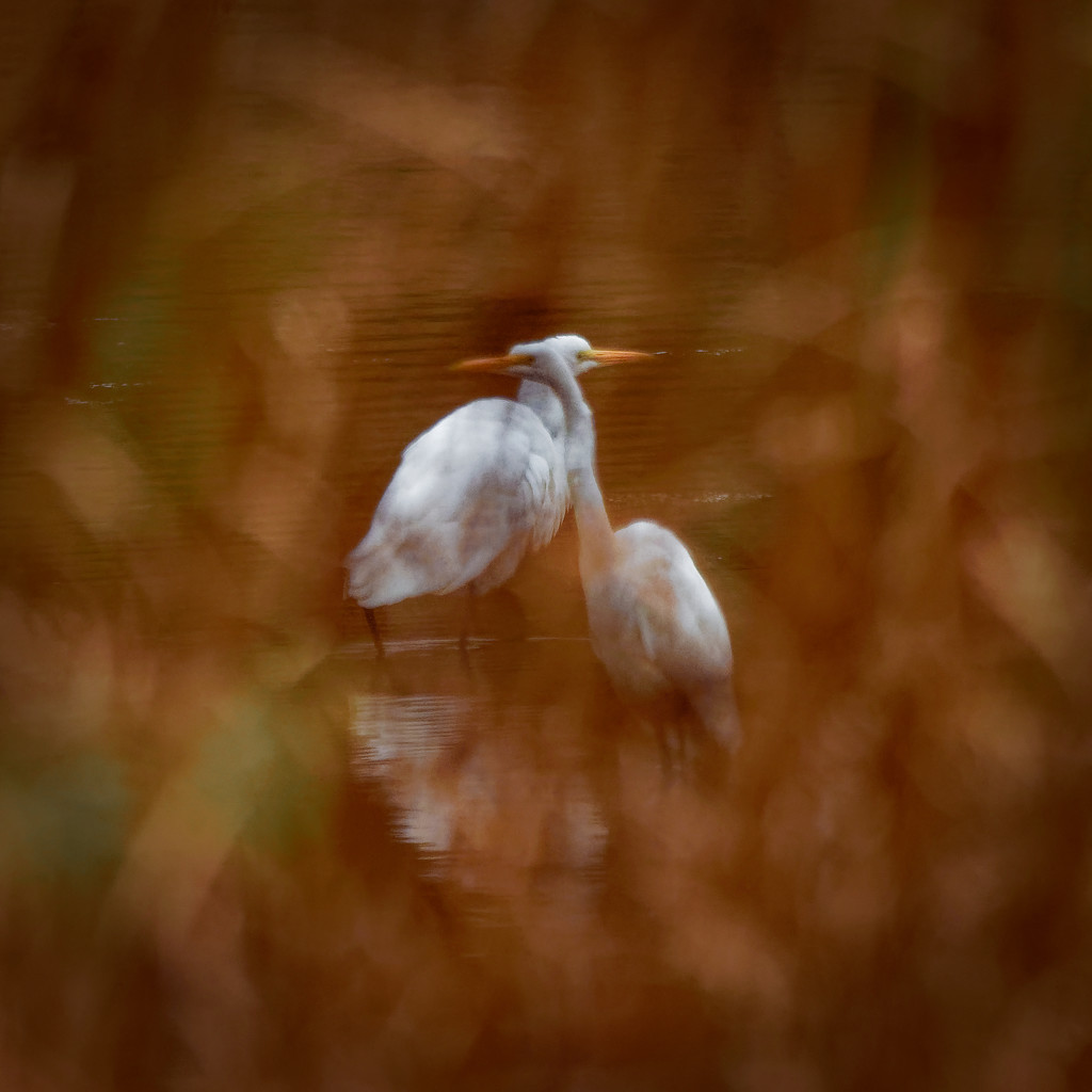 great egret pair by rminer