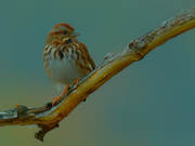 21st Oct 2020 - song sparrow
