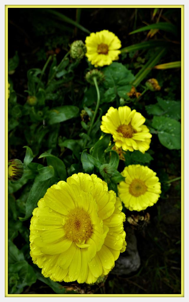 Calendula ( marigold ) by beryl