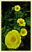 21st Oct 2020 - Calendula ( marigold )