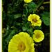 Calendula ( marigold )