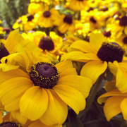 21st Oct 2020 - Black eyed Susans
