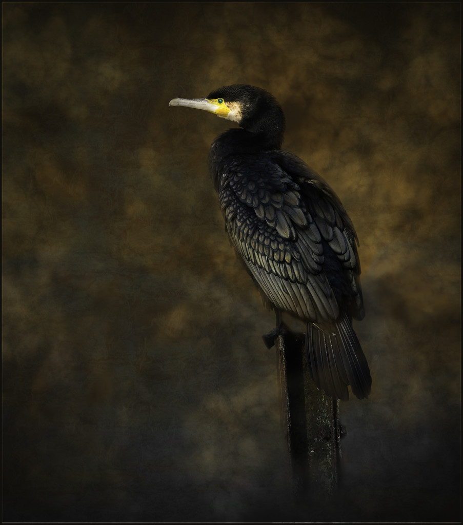 Cormorant  by inthecloud5