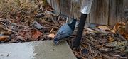 21st Oct 2020 - Blue bird seeking food