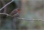 21st Oct 2020 - Always love to see a robin!