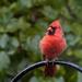 Fresh Cardinal