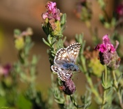 21st Oct 2020 - Common Checkered-Skipper Butterfly