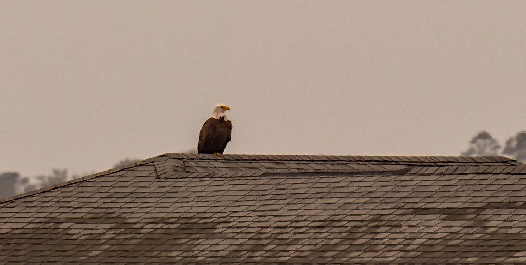 Bald Eagle on the Boat House!  by rickster549