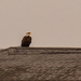 Bald Eagle on the Boat House!