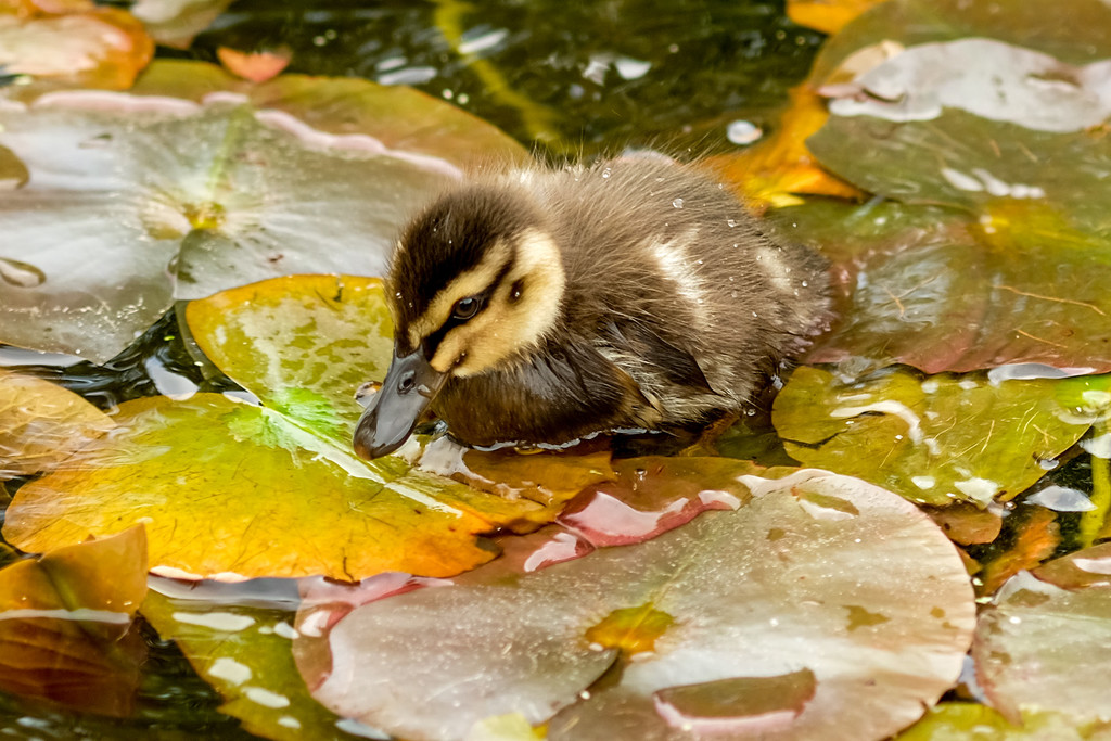 Duckling in the water lilies by maureenpp