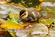 22nd Oct 2020 - Duckling in the water lilies