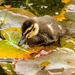 Duckling in the water lilies