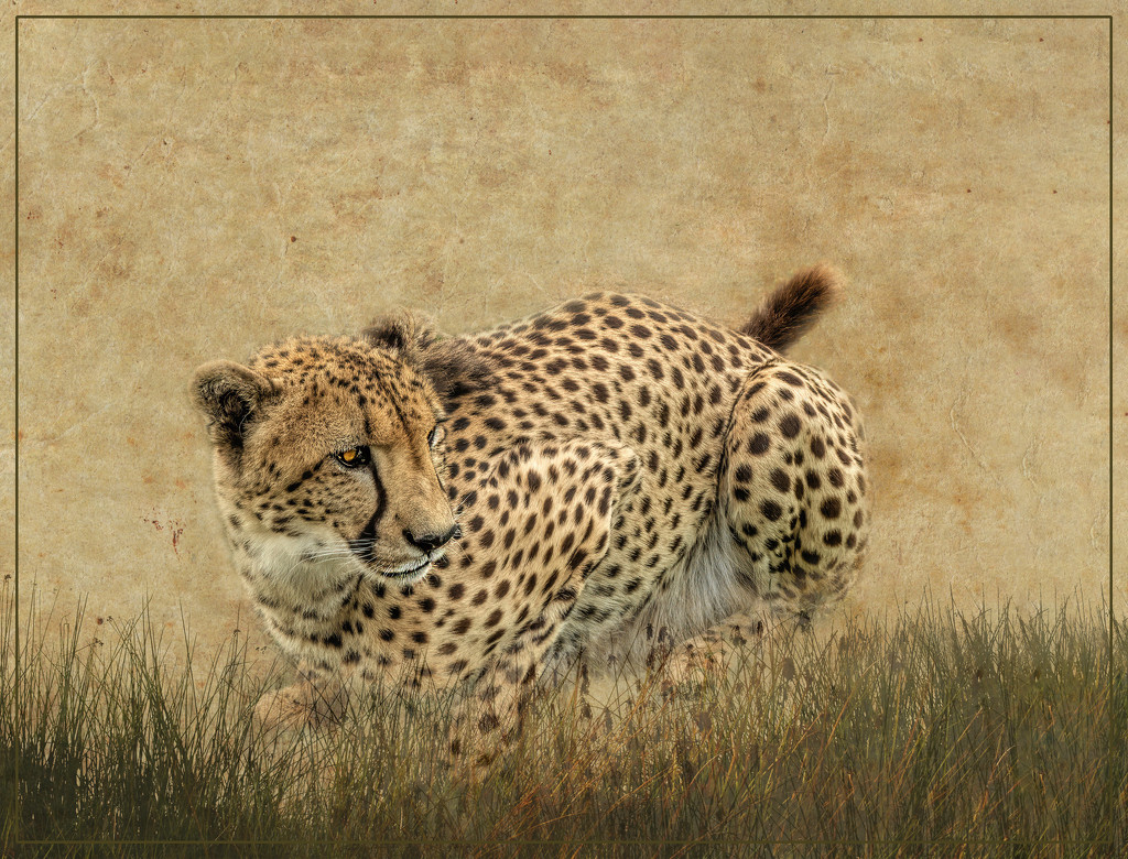 Cheetah crouching  by ludwigsdiana
