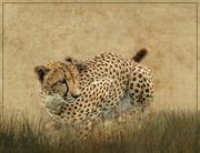 22nd Oct 2020 - Cheetah crouching