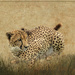 Cheetah crouching