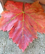 20th Oct 2020 - The leaf