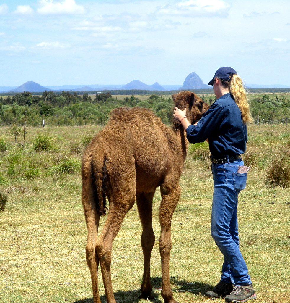A young camel being groomed.  Glass House  Mountains in the background by 777margo