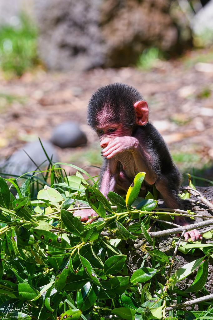 Baby baboon by yorkshirekiwi