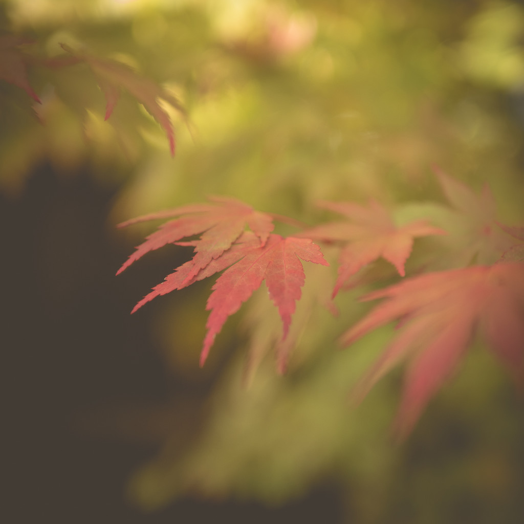 Red Leaf by newbank