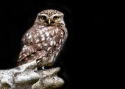 22nd Oct 2020 - Little Owl