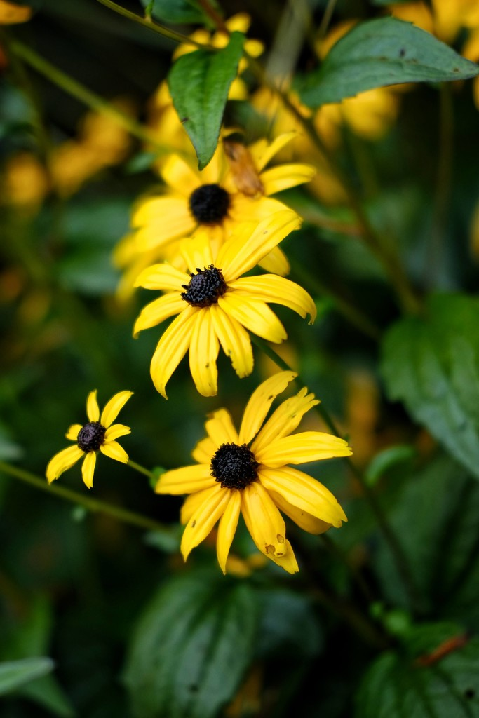 Black-eyed Susan by 4rky