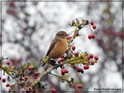 22nd Oct 2020 - Stonechat in the berries
