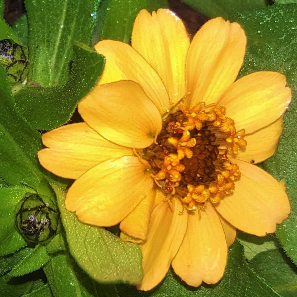 Dwarf Zinnia Flower ~     by happysnaps