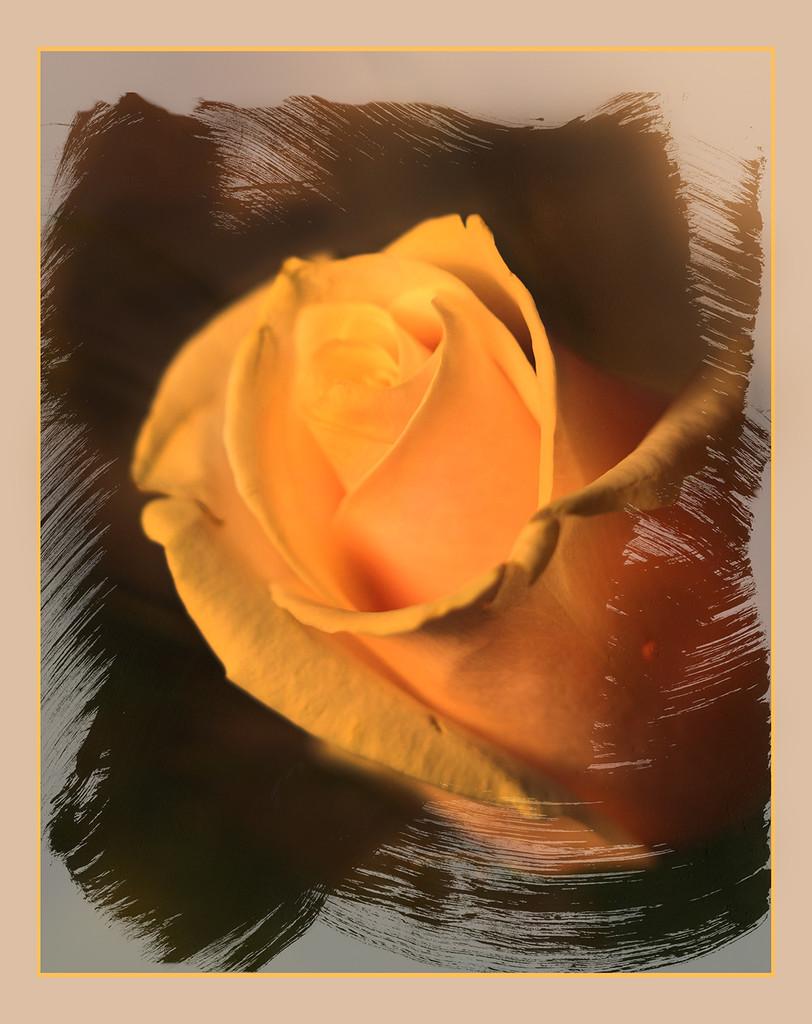 Just a rose.. by sdutoit