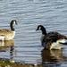 Geese at Sugwas Pool