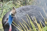 19th Oct 2020 - Southern Cassowary