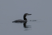 22nd Oct 2020 - Young Loon