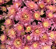 22nd Oct 2020 - Mums
