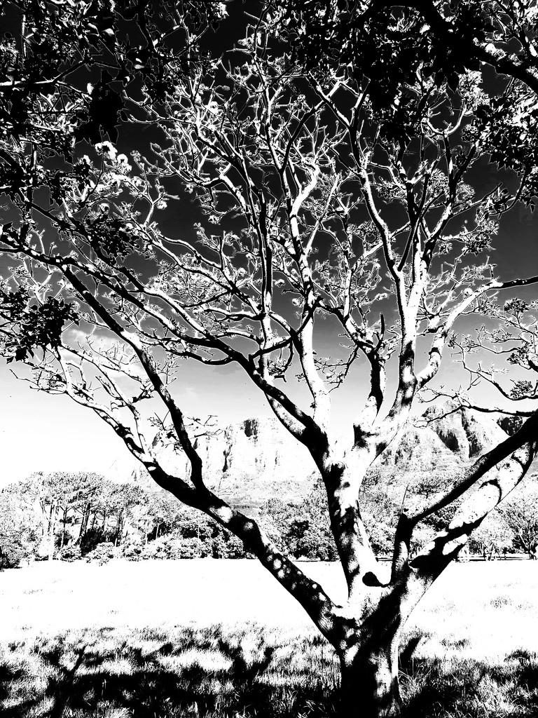 Trees of Keurboom #7 by eleanor