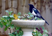 22nd Oct 2020 - Mr Magpie