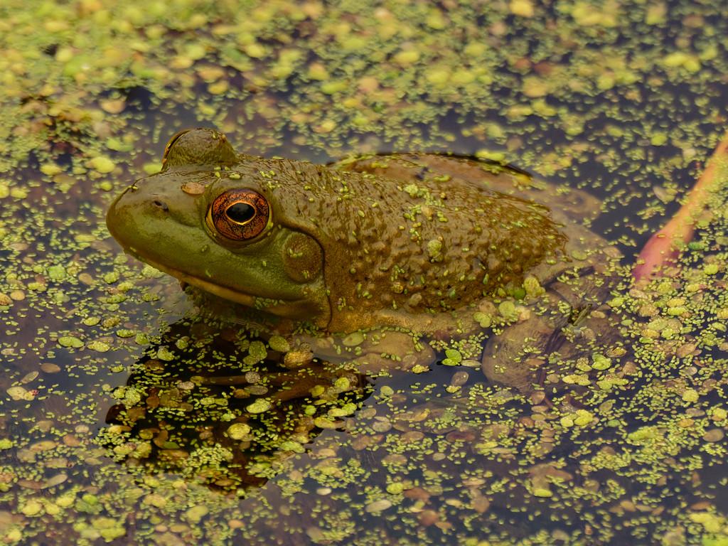 American bullfrog by rminer