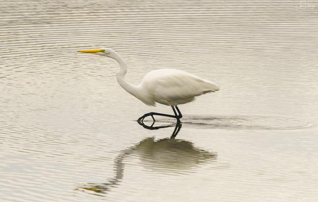 White Egret Stepping Forward  by jgpittenger