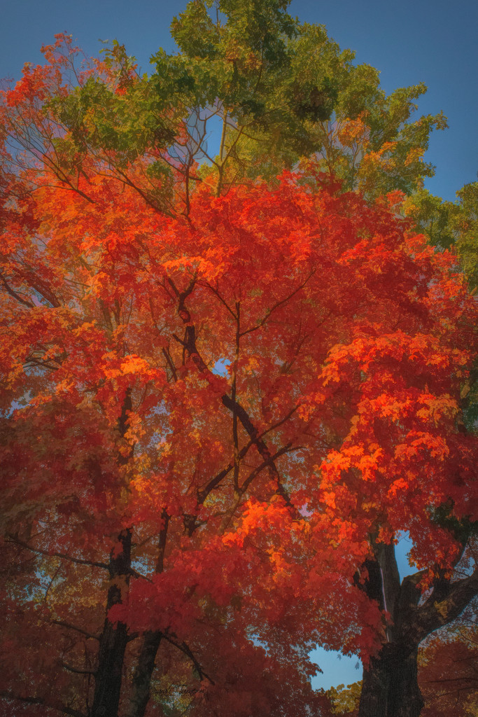 Maple tree bursting with color  by samae