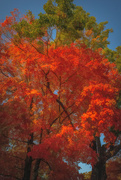 22nd Oct 2020 - Maple tree bursting with color