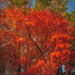 Maple tree bursting with color