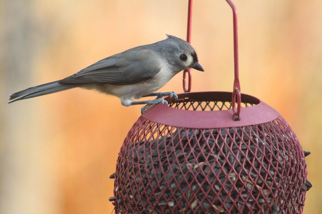 titmouse  by paintdipper