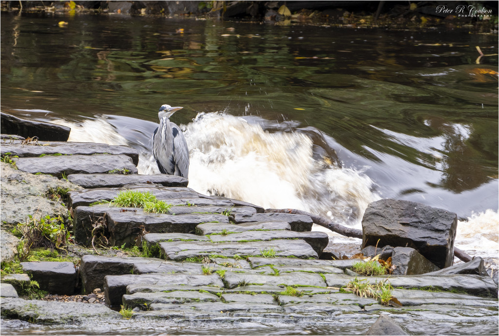 Heron at the Weir by pcoulson