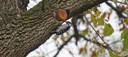 22nd Oct 2020 - Female Downy Woodpecker