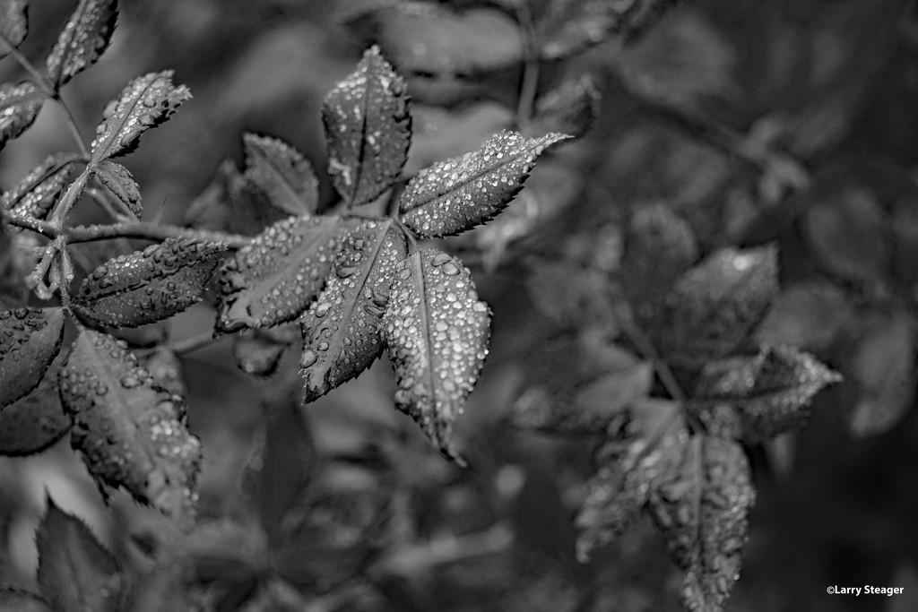 Rose Leaves in B&W by larrysphotos