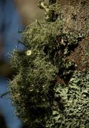 22nd Oct 2020 - Do lichen have flowers?