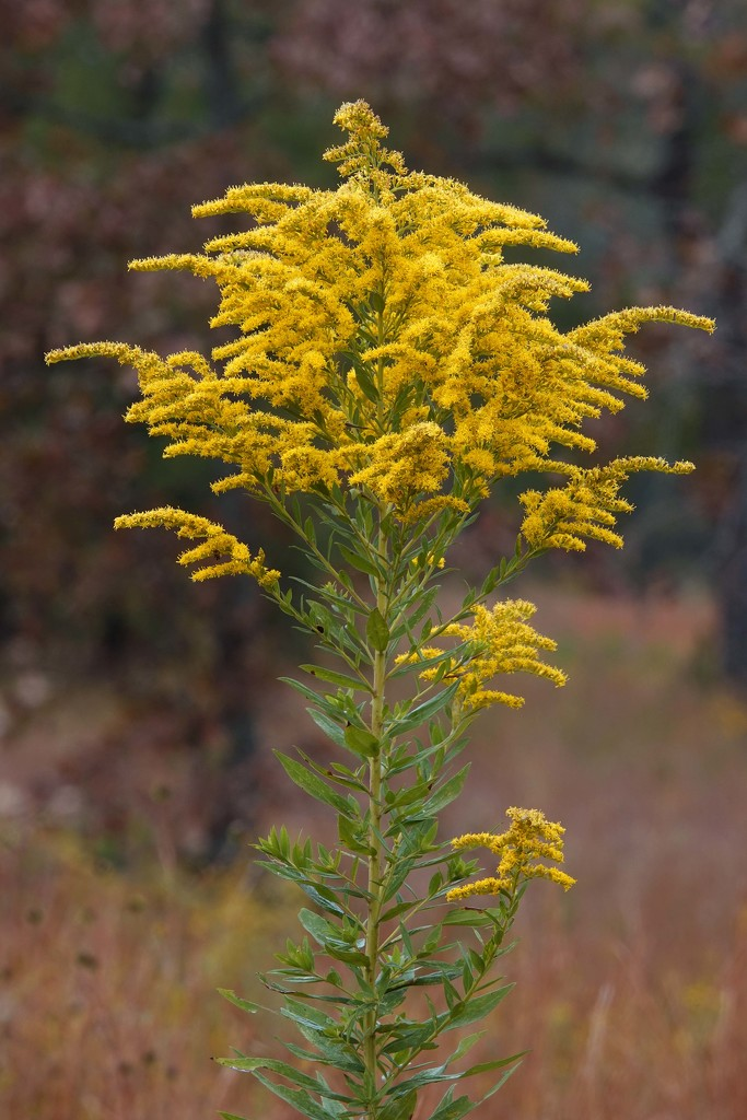 Tall Goldenrod by milaniet
