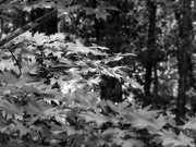 23rd Oct 2020 - Maple branches...