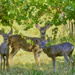 Deer In The Vinyard