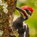 Male Pilliated Woodpecker!